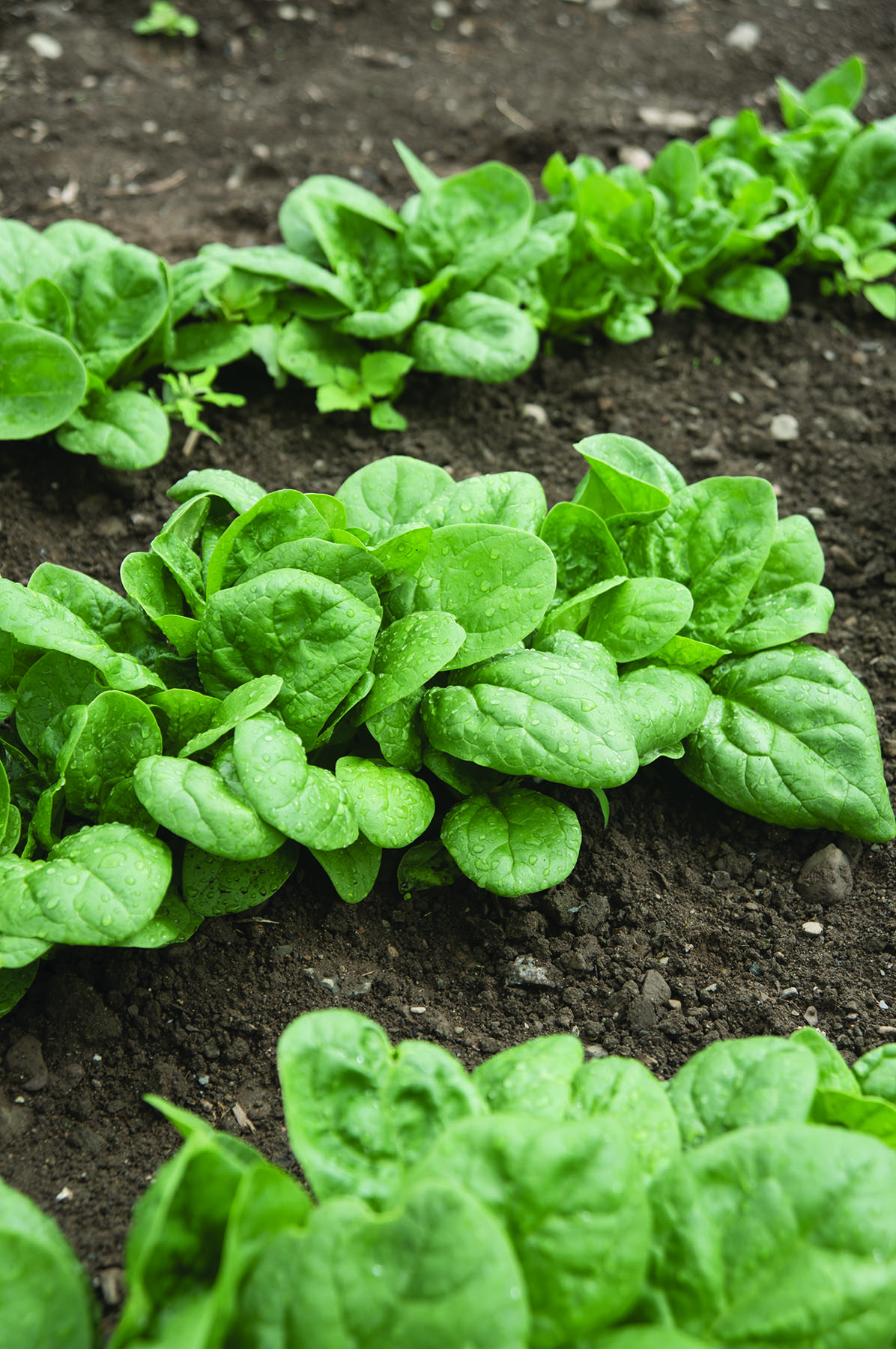 Seaside Spinach