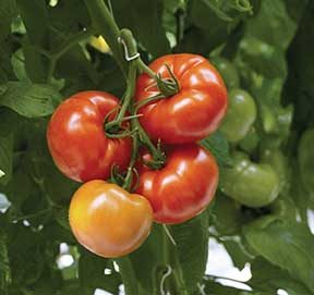 Geronimo Grafted Tomato