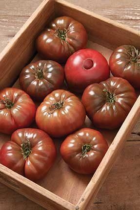 Marnero Grafted Tomato