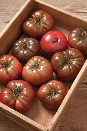 Marnero Grafted Tomato
