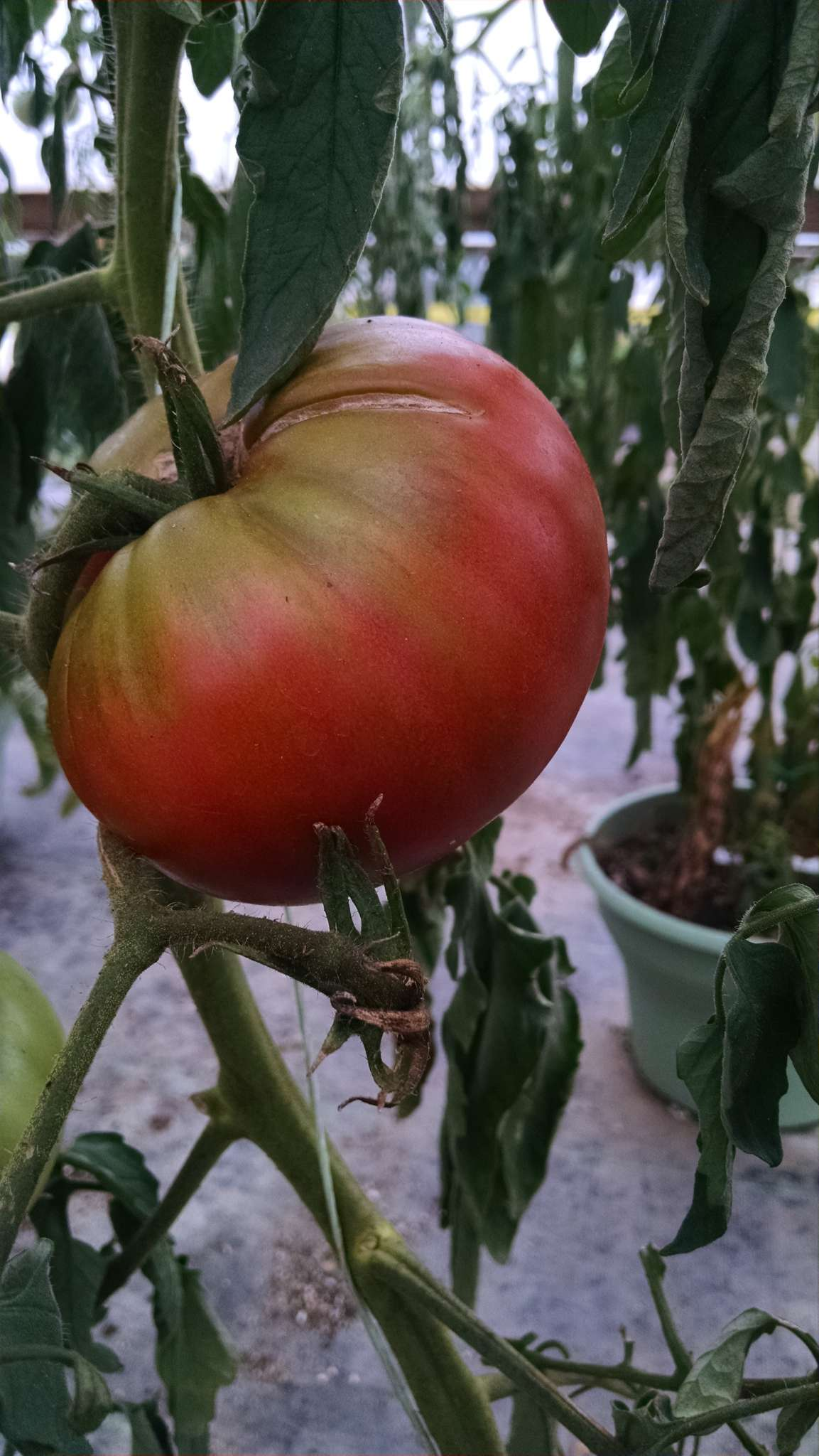 Mortgage Lifter Grafted Tomato