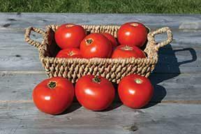 Mountain Fresh Plus Tomato