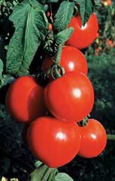 New Girl Tomato