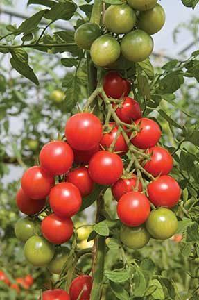 Sakura Grafted Tomato