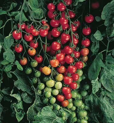 Sweet 100 Grafted Tomato