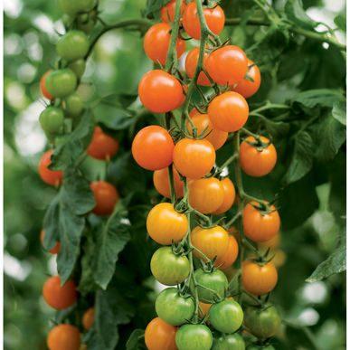 Toronjina Tomato