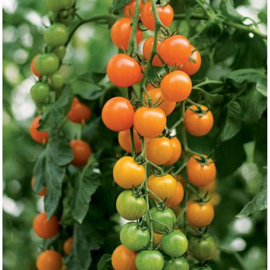 Toronjina Grafted Tomato