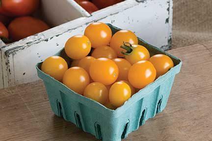 Yellow Mini Grafted Tomato