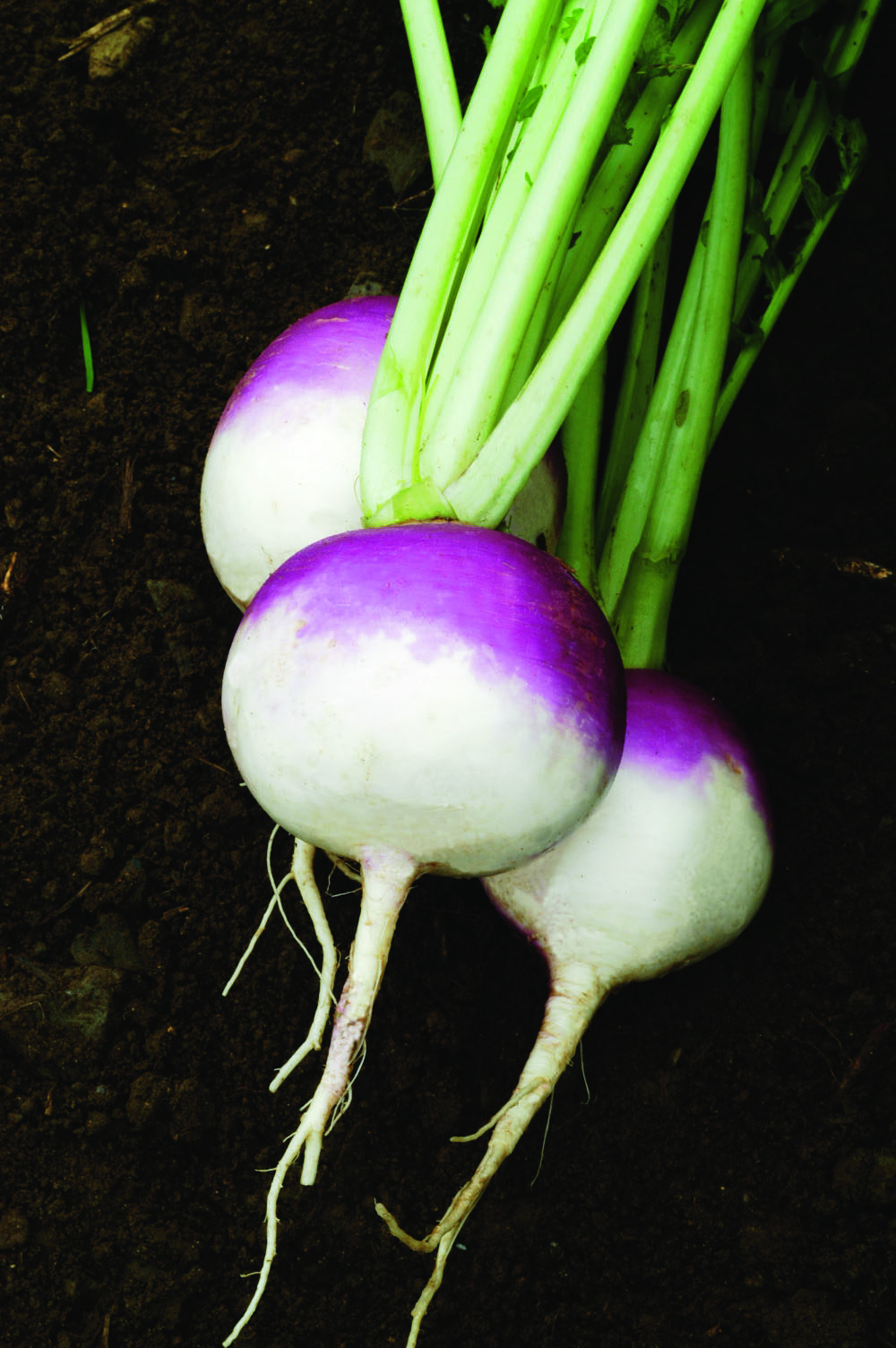 Purple Top White Globe Turnip