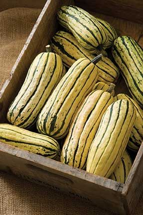 Delicata Squash, Winter