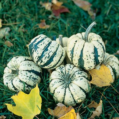 Sweet Dumpling Squash, Winter