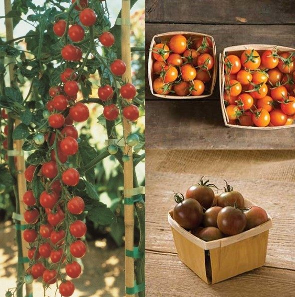 Cherry Tomato Mix Grafted