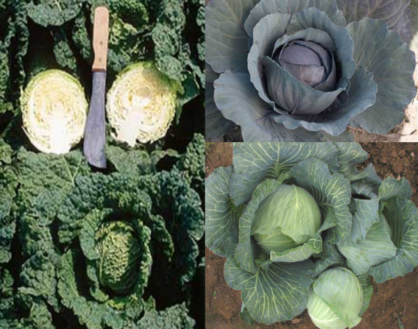 Cabbage Collection CA