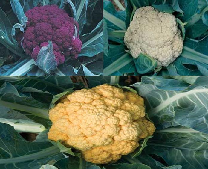 Cauliflower Collection