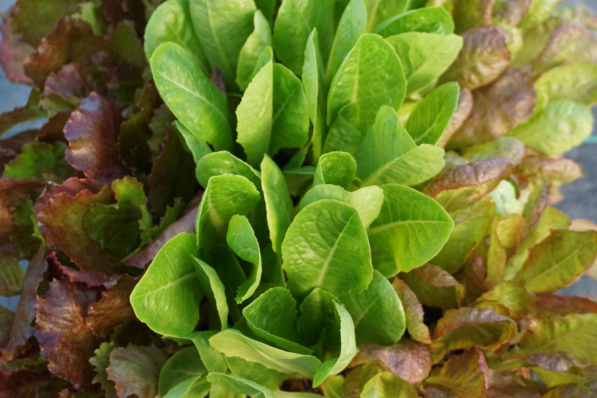 Summer Lettuce Collection