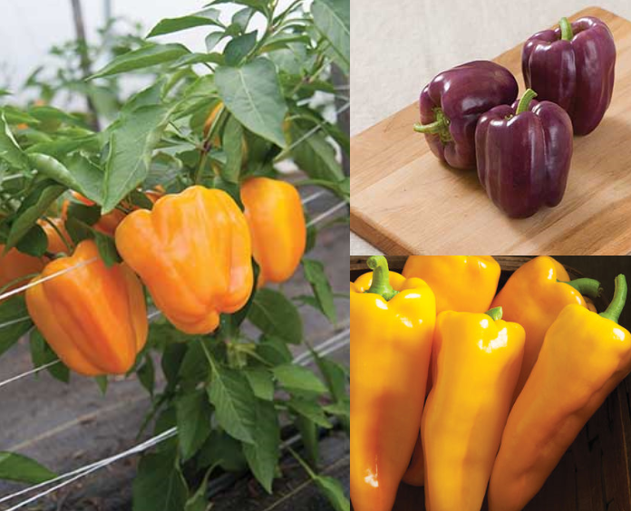 Sweet Pepper Collection