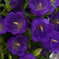 Campanula (Bellflower)