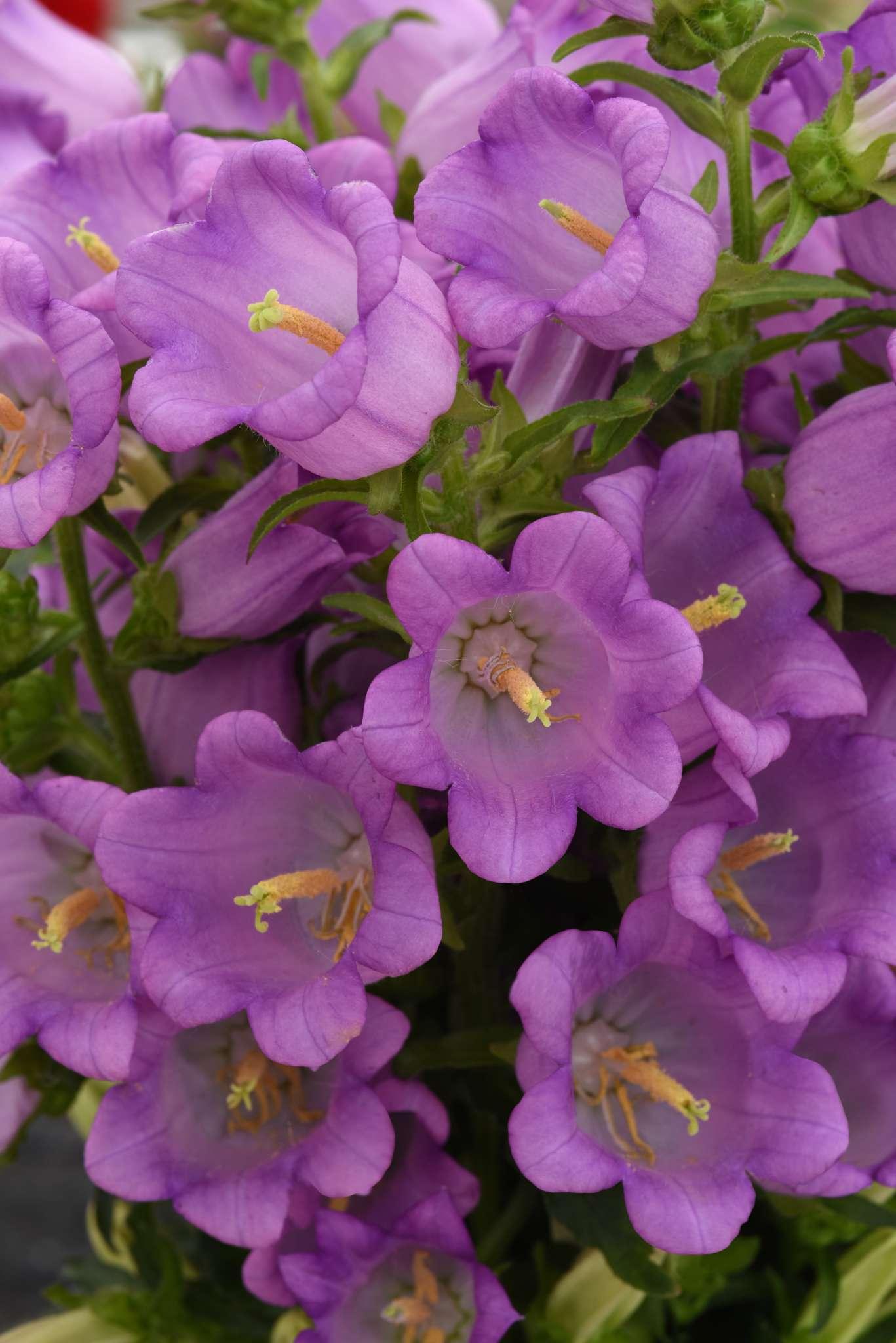 Campanula Campana Lilac (Non-Organic)