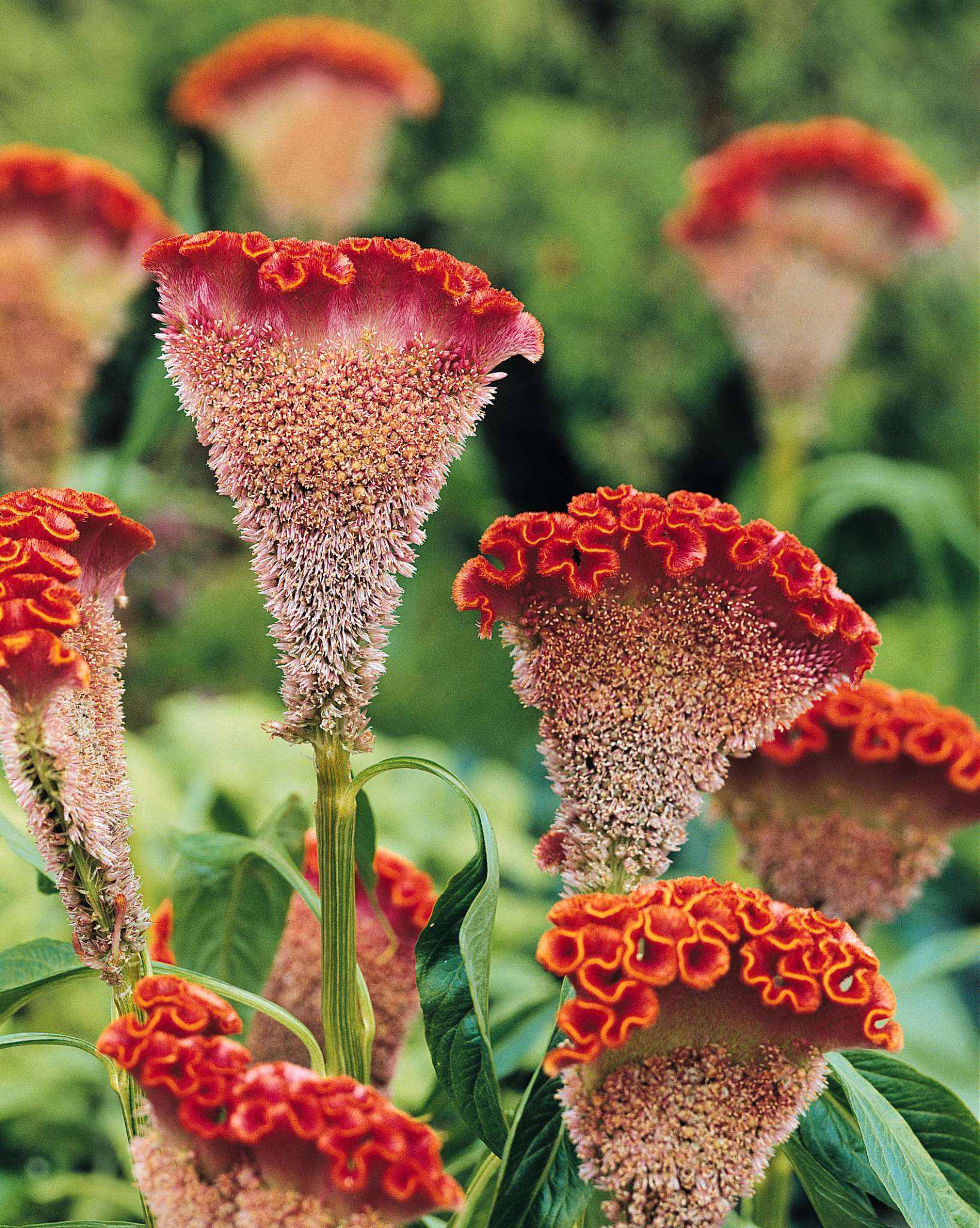 Bombay Orange Celosia (Non-Organic)