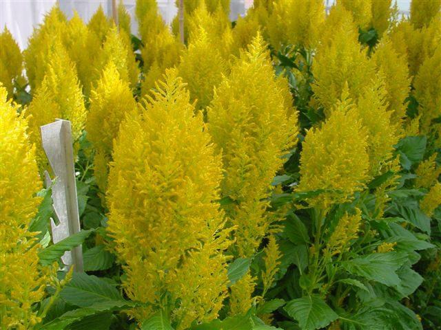 Sunday Yellow Celosia (Non-Organic)