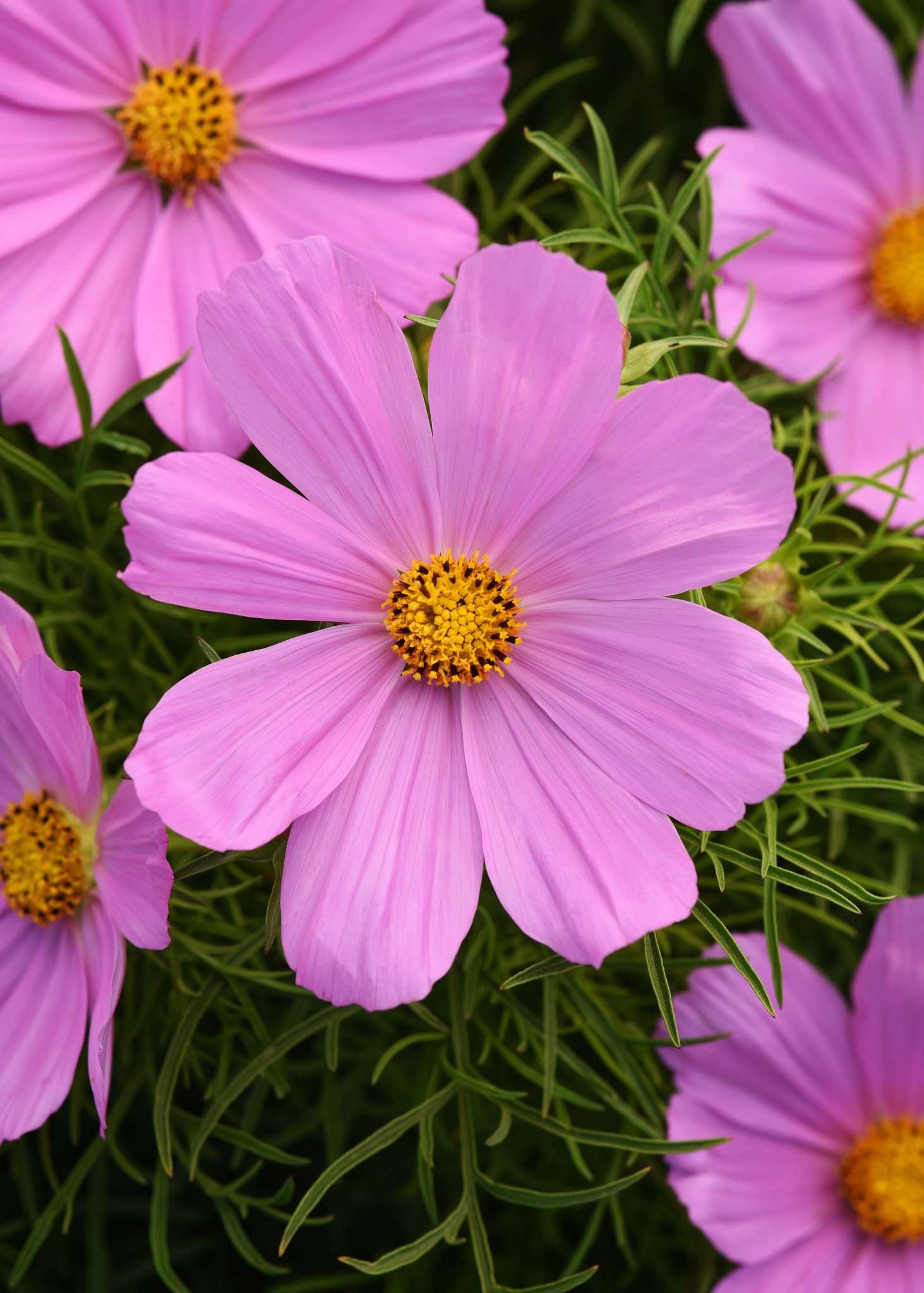 Sonata Pink Cosmos (Non-Organic)