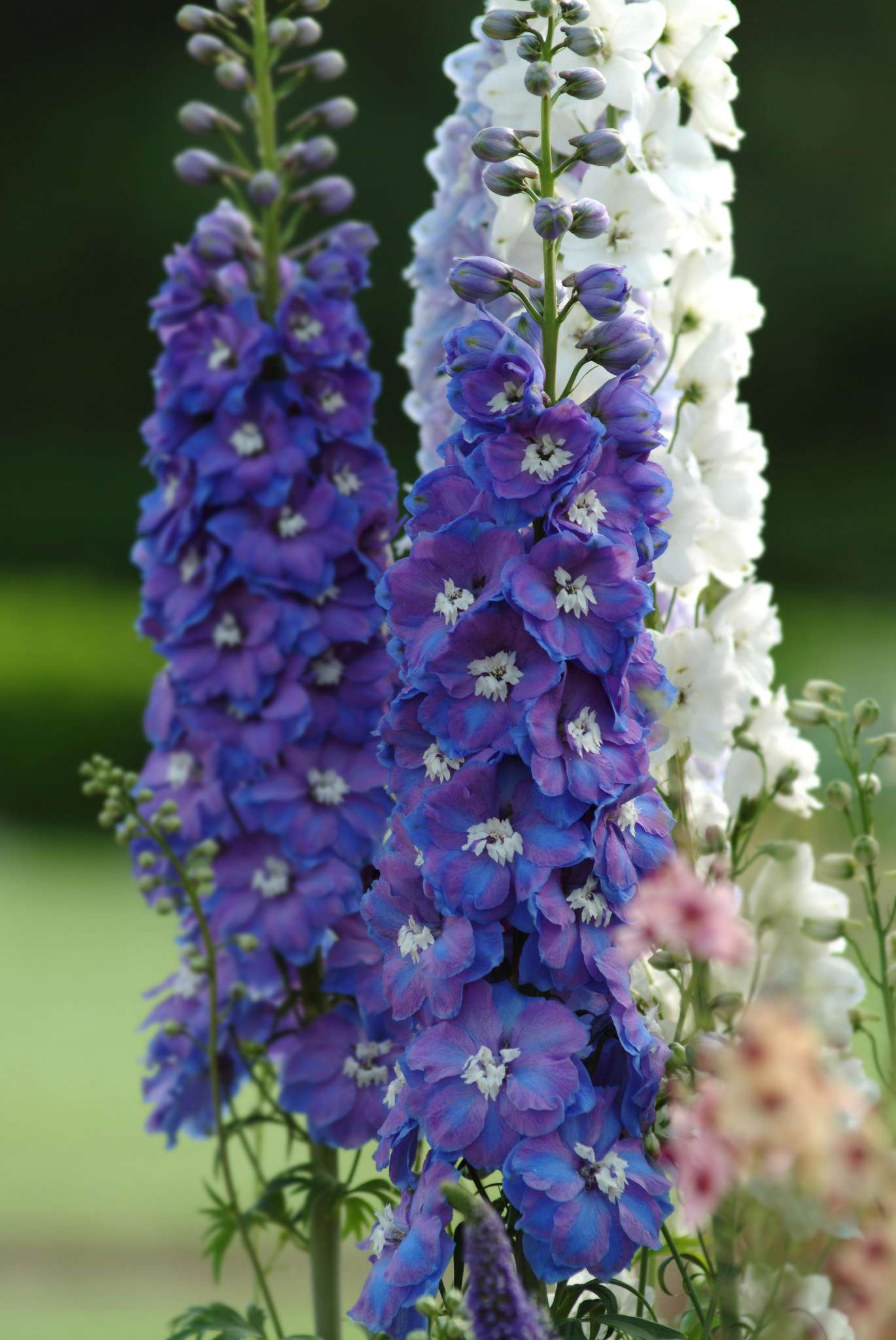 Guardian Blue Delphinium (Non-Organic)