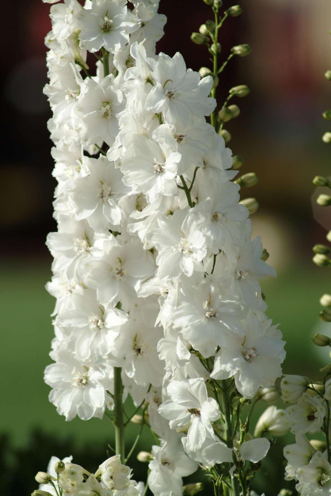 Guardian White Delphinium (Non-Organic)