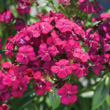 Amazon Neon Cherry Dianthus (Non-Organic)