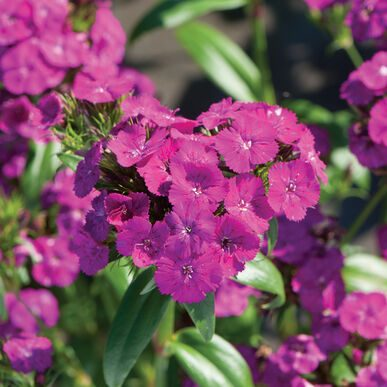 Amazon Neon Purple Dianthus (Non-Organic)