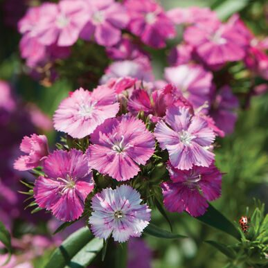 Amazon Neon Rose Magic Dianthus (Non-Organic)