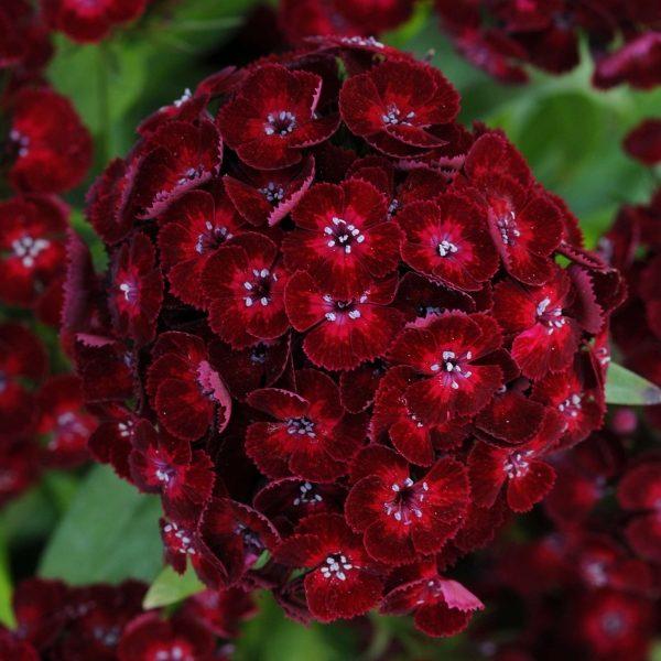 Dash Crimson Dianthus (Non-Organic)