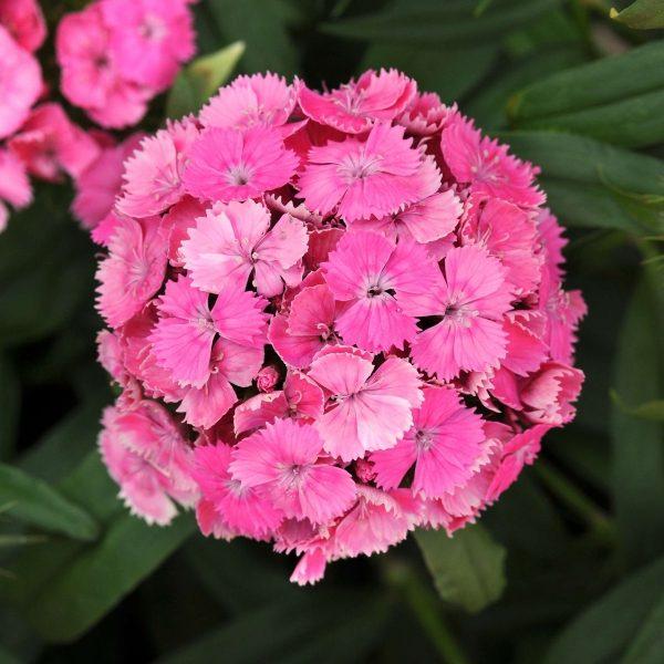 Dash Pink Dianthus (Non-Organic)