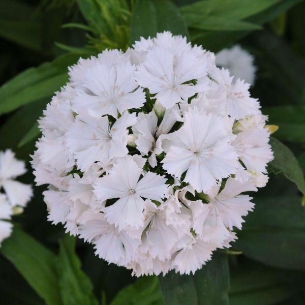 Dash White Dianthus (Non-Organic)