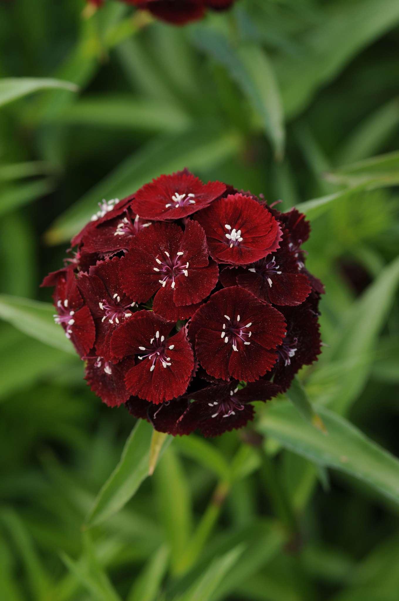 Sweet Black Cherry Dianthus (Non-Organic)