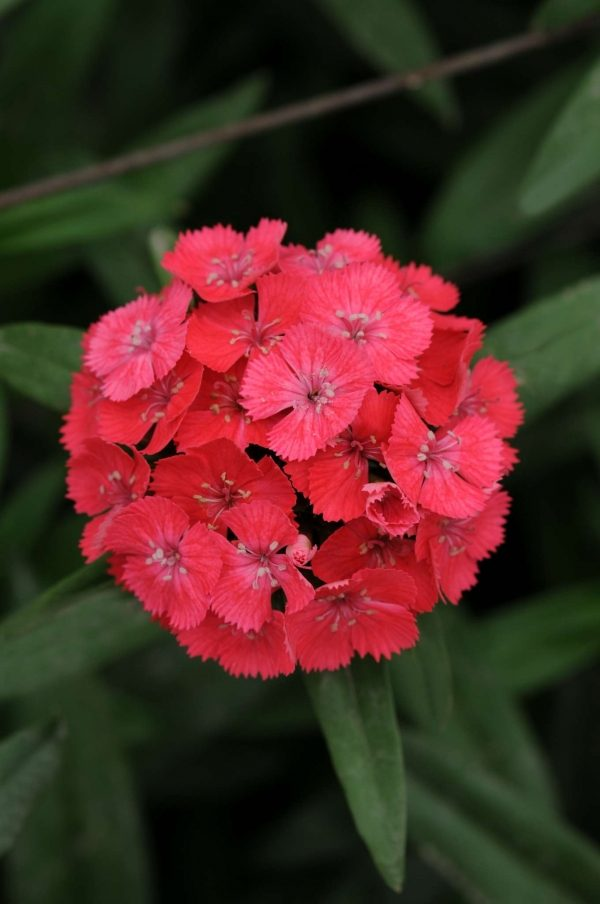 Sweet Coral Dianthus (Non-Organic)