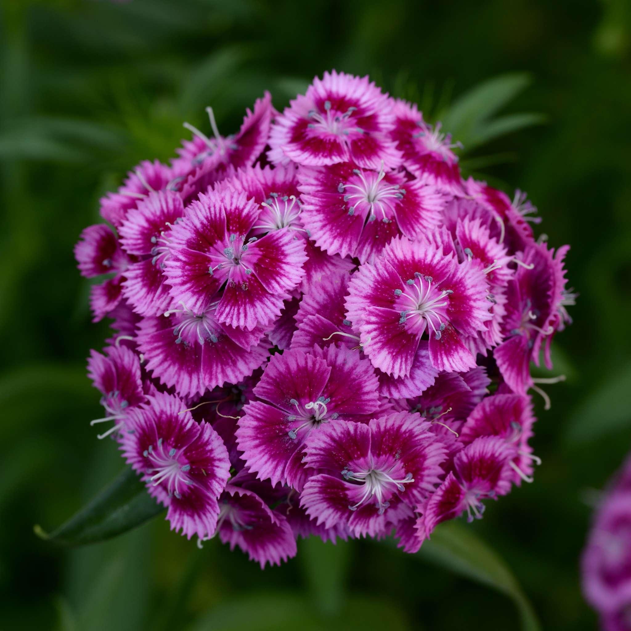 Sweet Magenta Bicolor Dianthus (Non-Organic)
