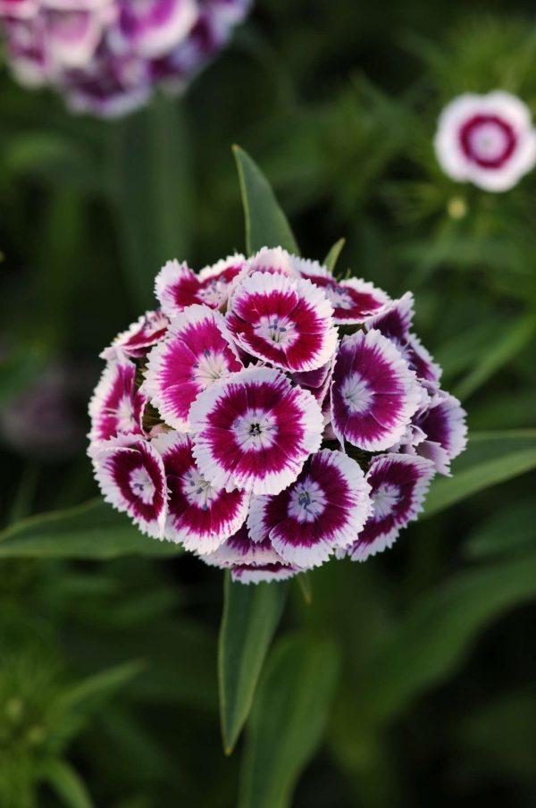 Sweet Purple White Bicolor Dianthus (Non-Organic)