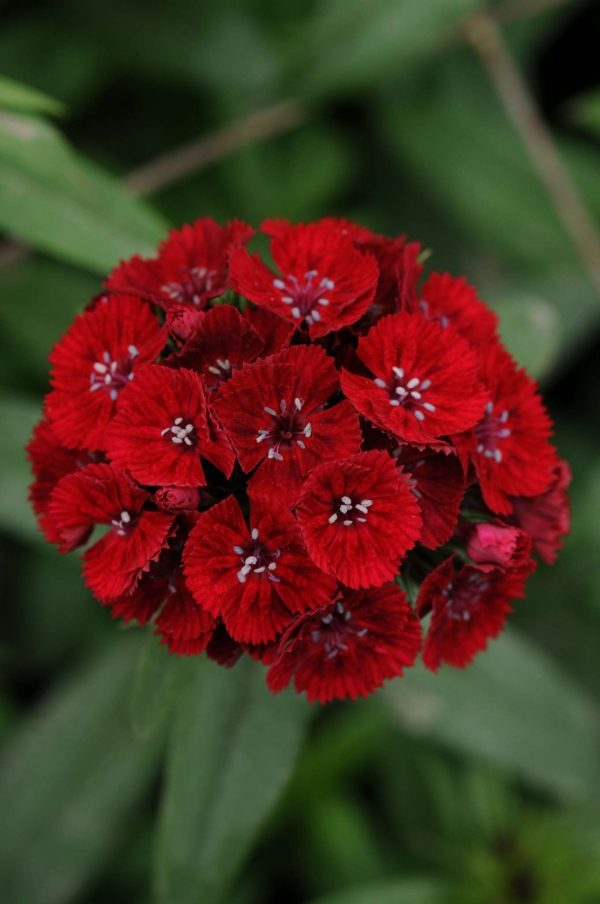 Sweet Red Dianthus (Non-Organic)
