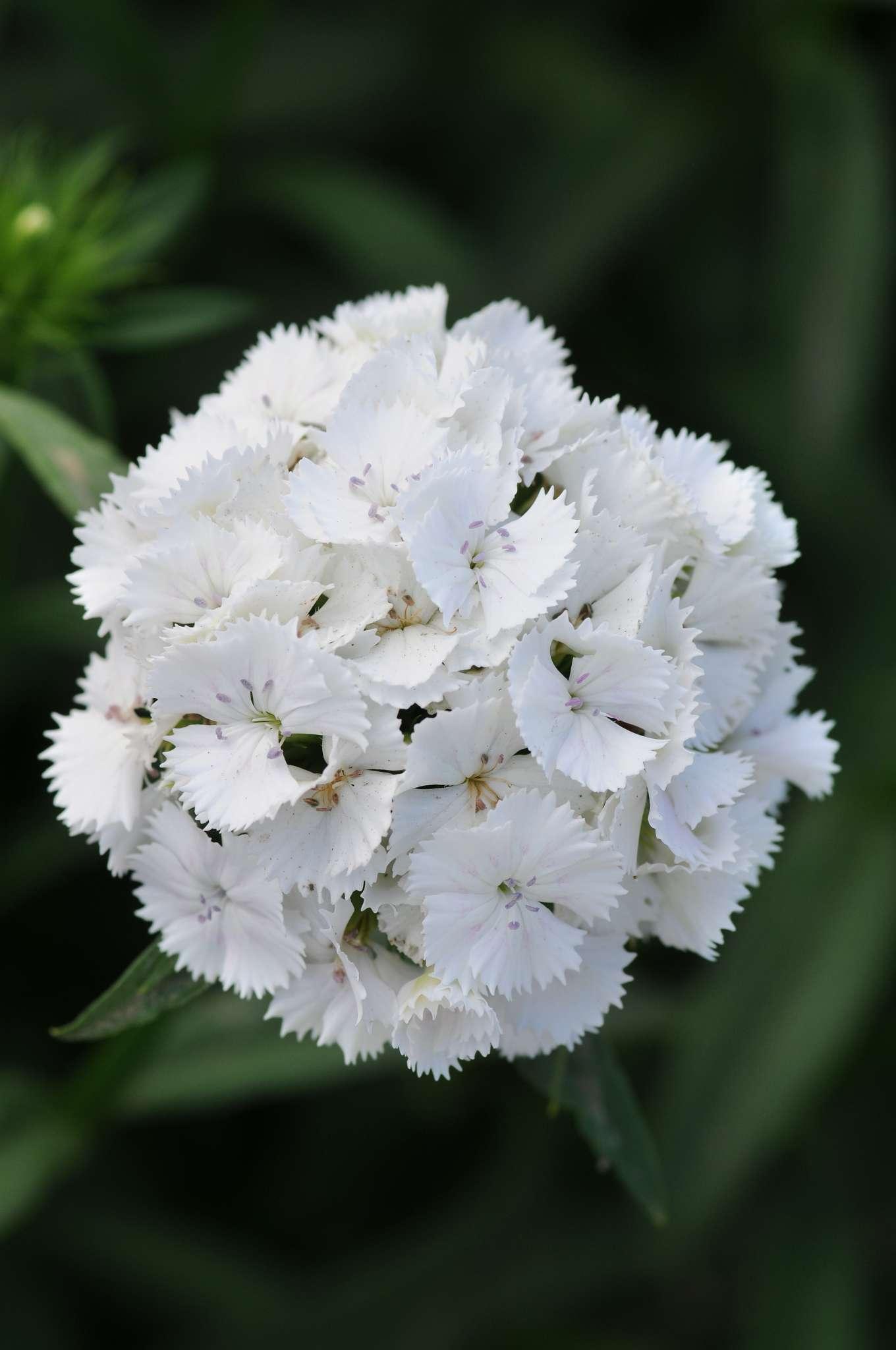 Sweet White Dianthus (Non-Organic)