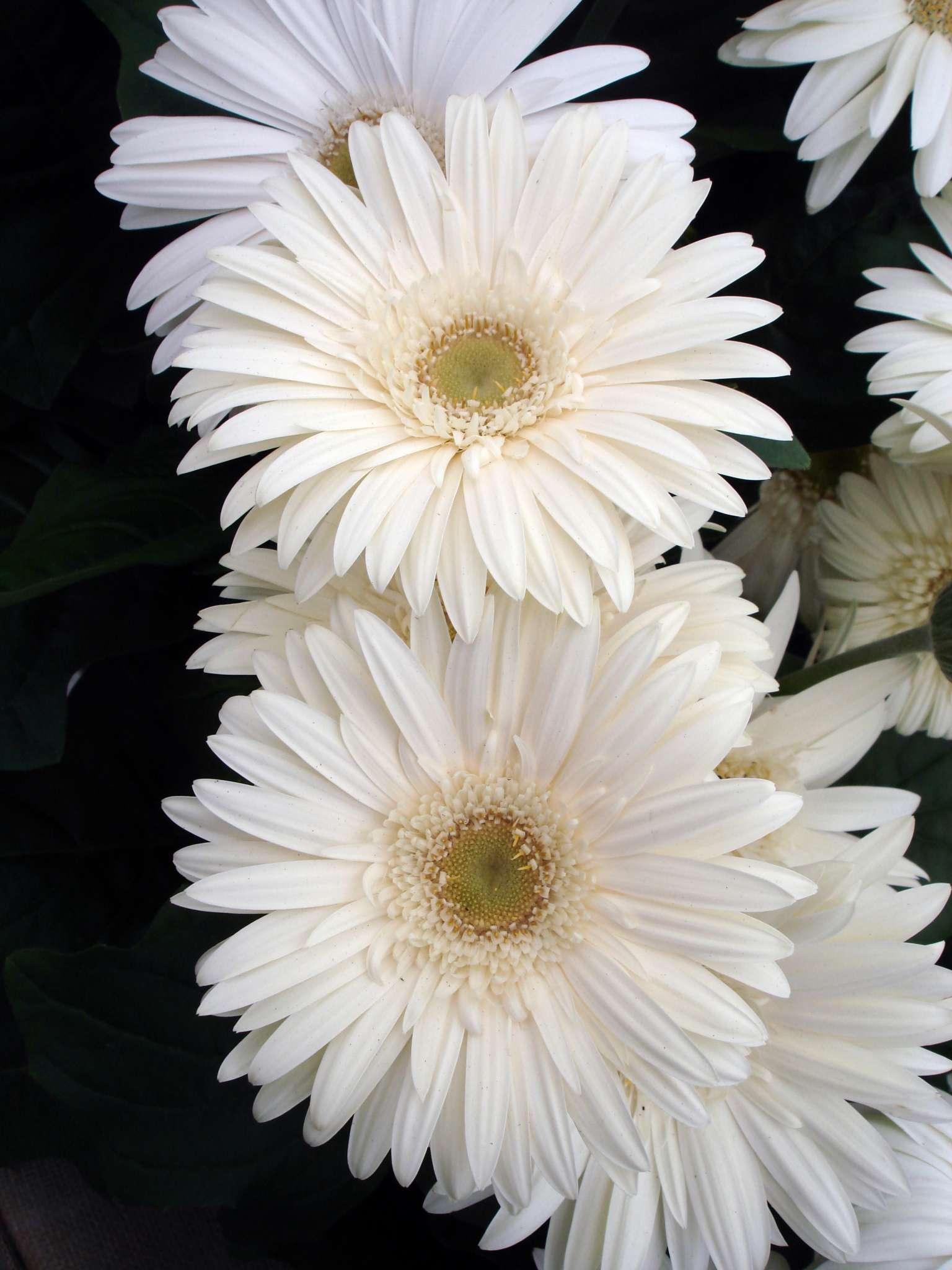 Mega Revolution White Gerbera (Non-Organic)
