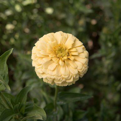 Giant Dahlia Creamy Yellow Zinnia