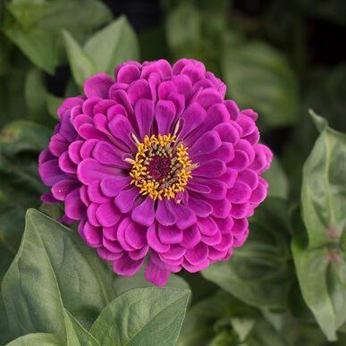 Giant Dahlia Violet Zinnia