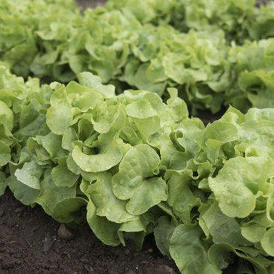 Panisse Lettuce