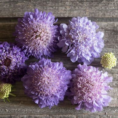 Oxford Blue Scabiosa