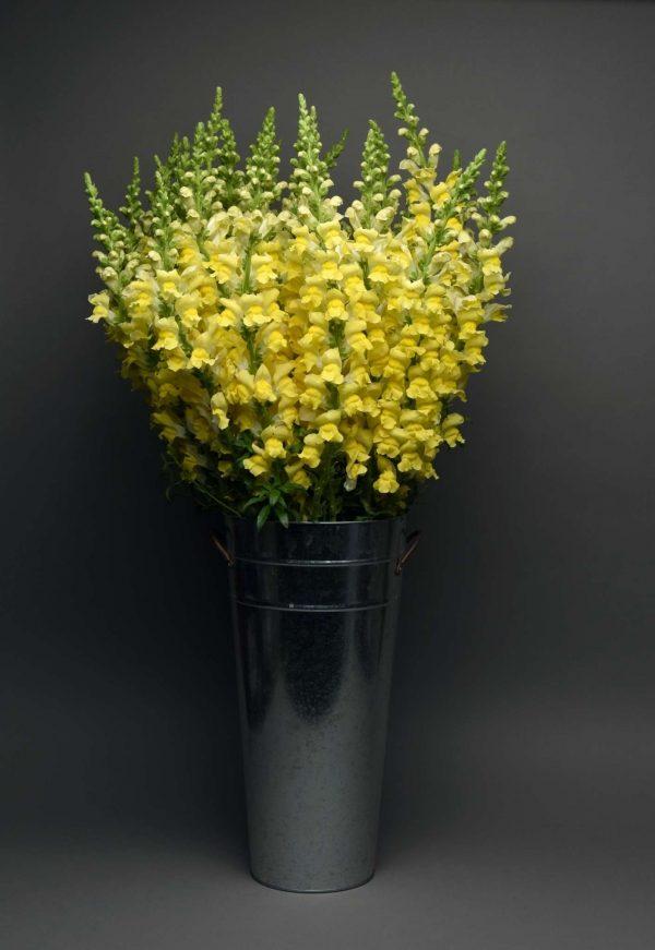 Maryland Bright Yellow Snapdragon (Non-Organic)