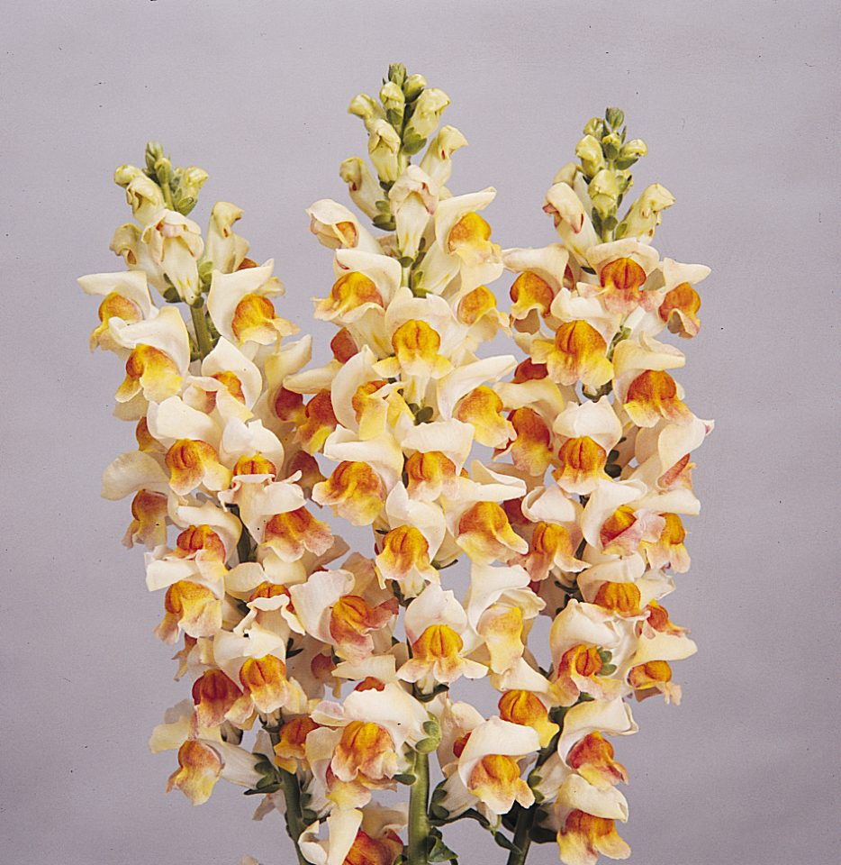 Maryland Flame Snapdragon (Non-Organic)