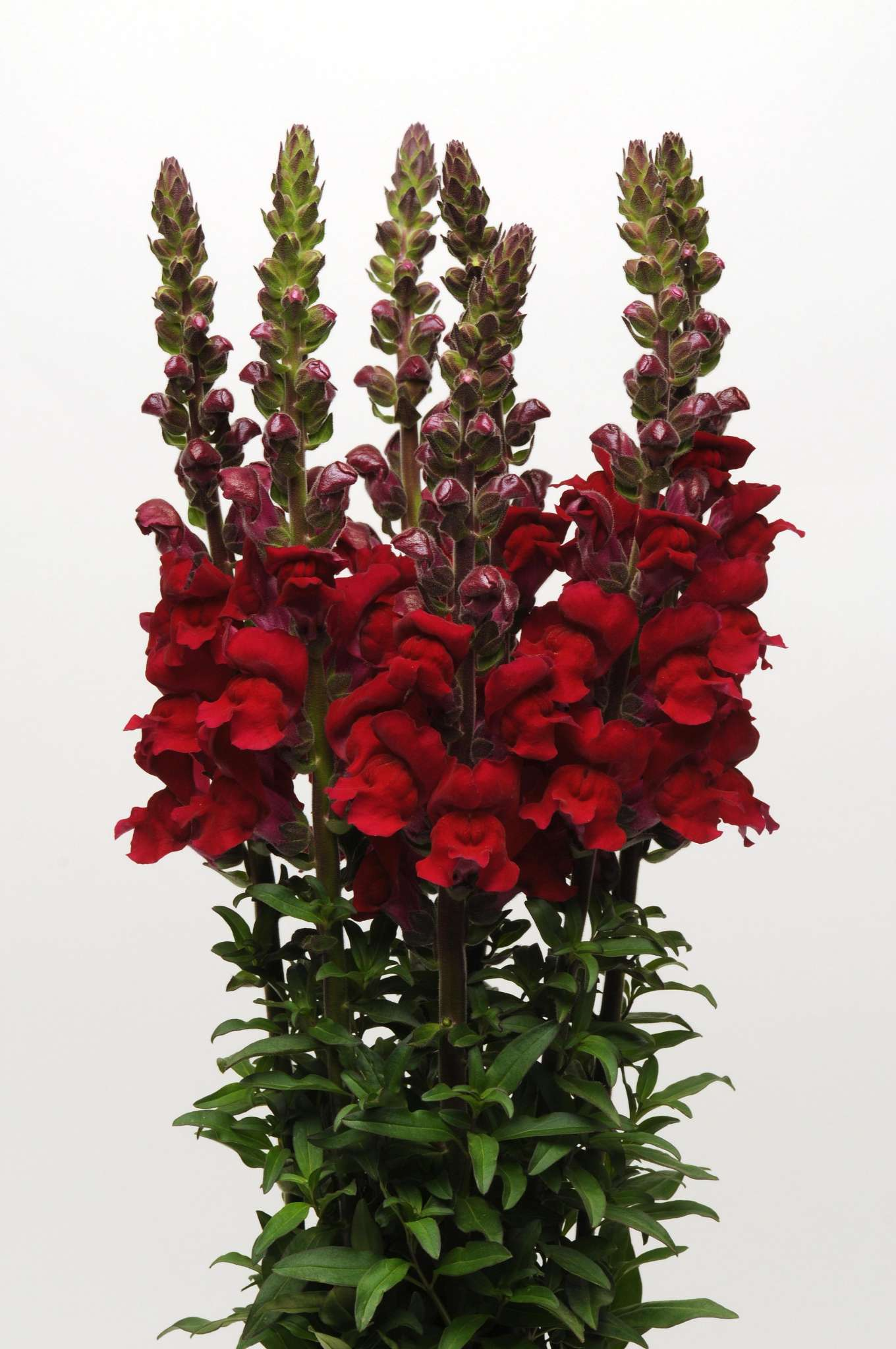 Maryland Red Snapdragon (Non-Organic)