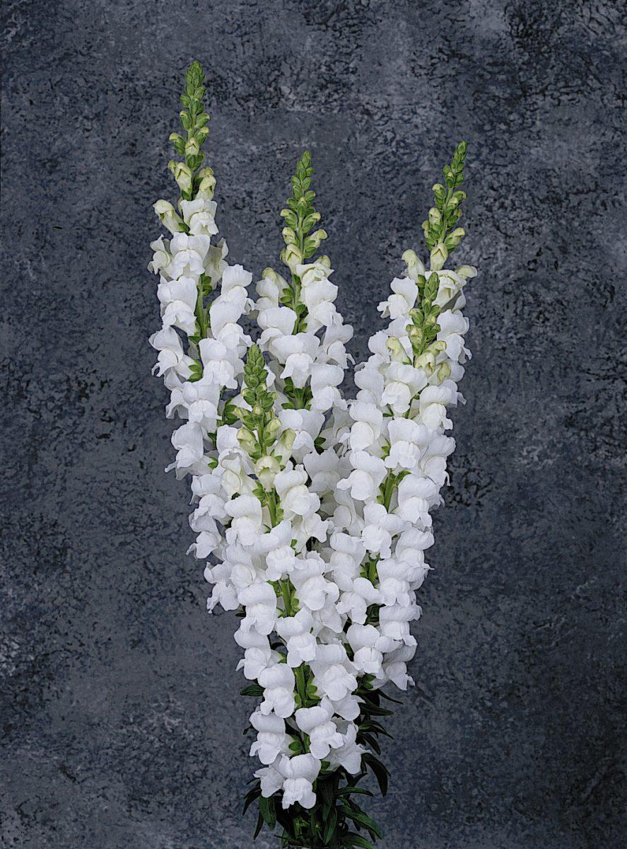 Maryland White Snapdragon (Non-Organic)