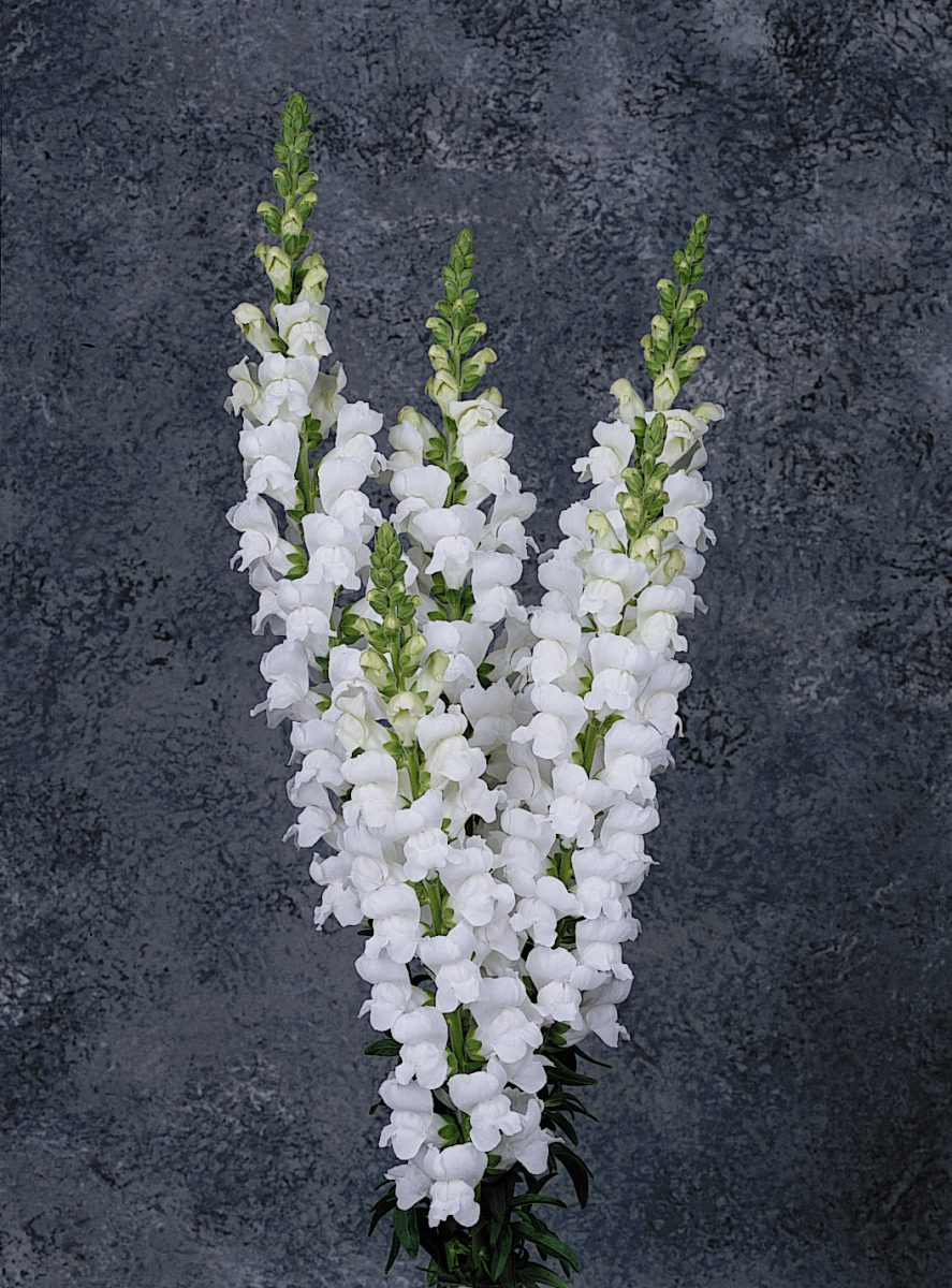 Maryland White Snapdragon (Non-Organic)