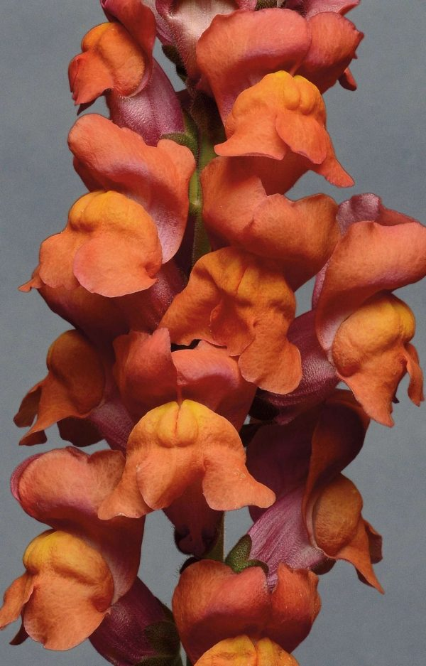 Monaco Orange Snapdragon (Non-Organic)